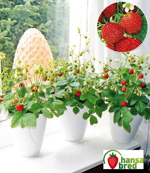 balkon fensterbank erdbeere 39 font erdbeeren bei baldur garten. Black Bedroom Furniture Sets. Home Design Ideas