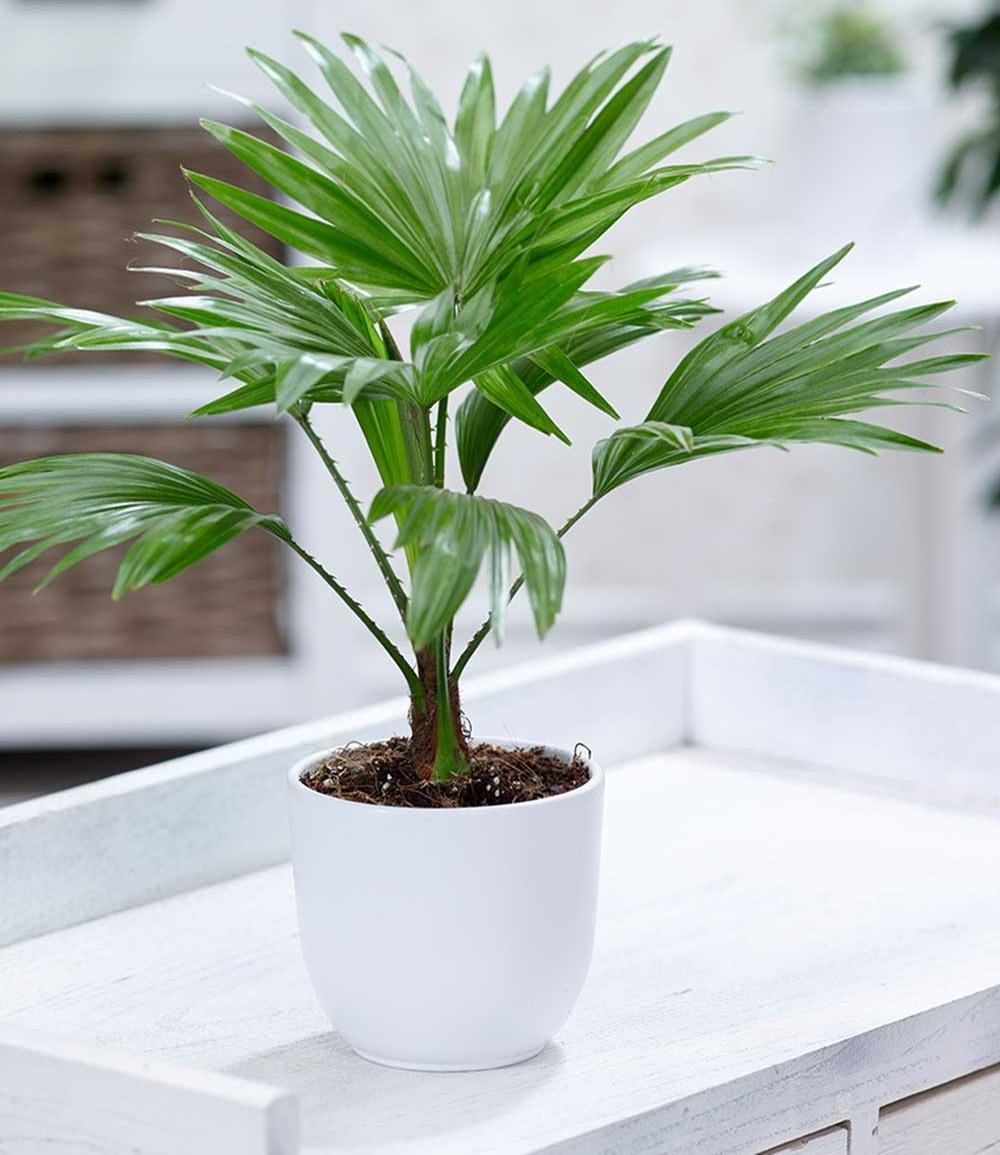 Palme 'Livistona Rotundifolia'