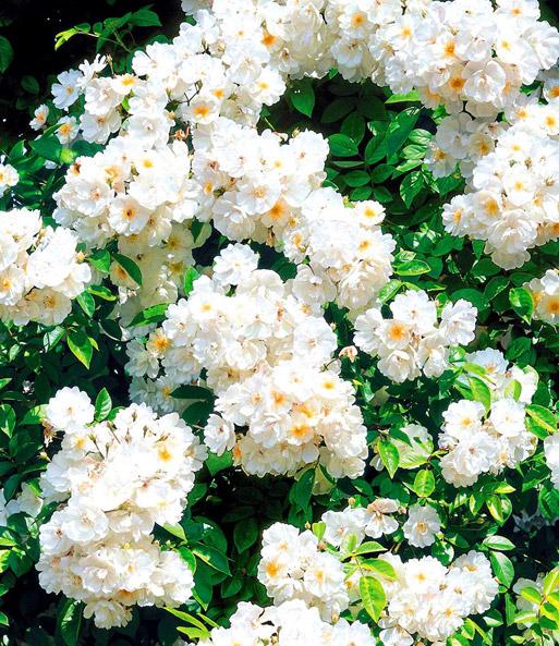 Rambler-Rosen-Kollektion | Rambler-Rosen bei BALDUR-Garten