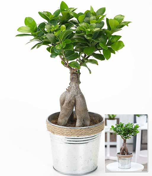 ficus ginseng im zinktopf 1a zimmerpflanzen baldur garten. Black Bedroom Furniture Sets. Home Design Ideas
