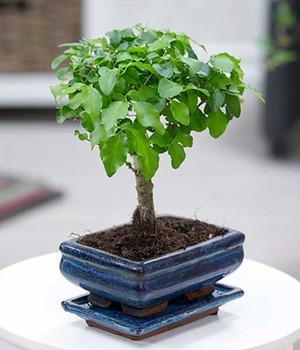 Bonsai Ligustrum mit Schale (1 Pflanze)