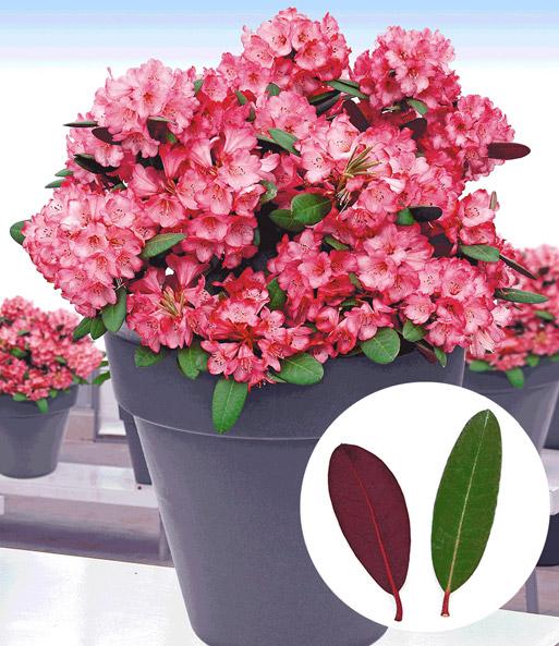 rhododendron 39 wine roses 39 bl hende str ucher bei baldur garten. Black Bedroom Furniture Sets. Home Design Ideas