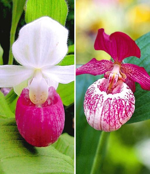 winterharte orchideen kollektion orchideen winterhart. Black Bedroom Furniture Sets. Home Design Ideas