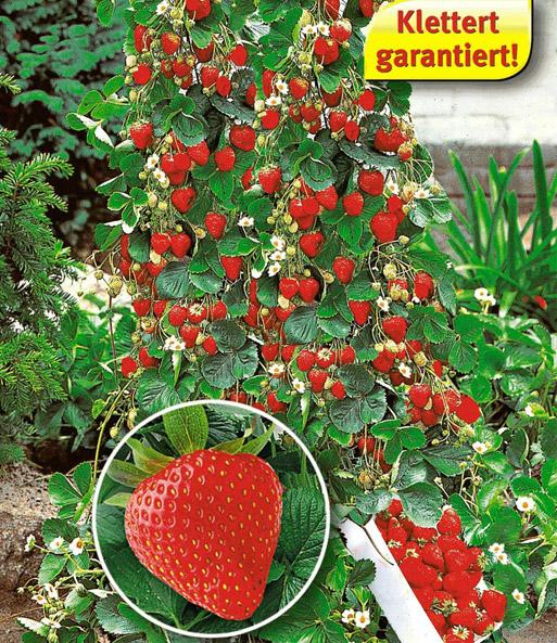 kletter erdbeeren 6 pflanzen und 2 sonderartikel bei. Black Bedroom Furniture Sets. Home Design Ideas