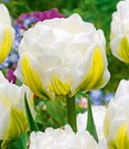 Tulpe 'Cool Double'