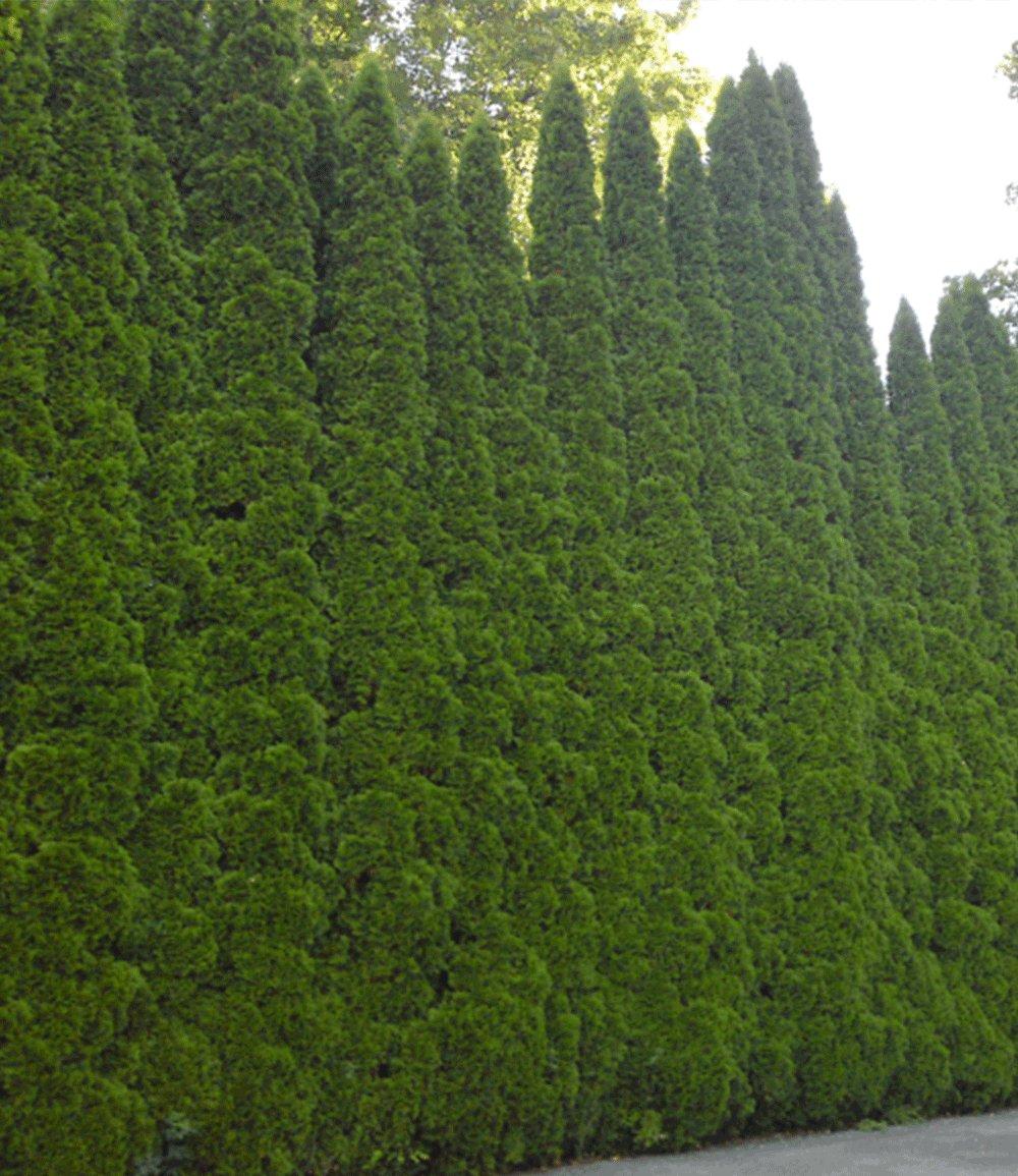 Lebensbaum-Hecke 'Smaragd' 40-60cm hoch
