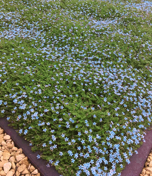 Isotoma 'Blue Foot®'