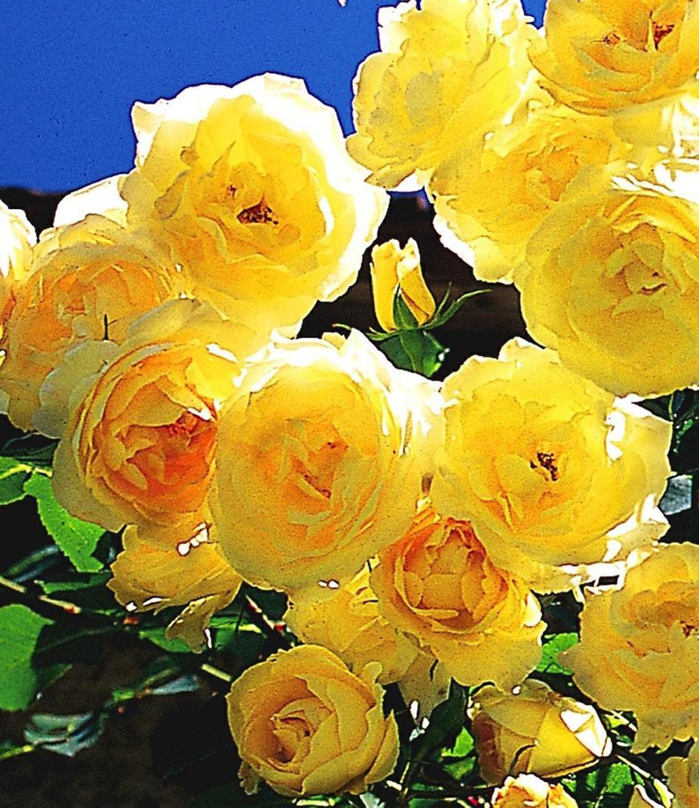 Kletter-Rose 'Dune®'