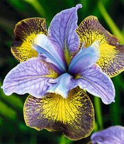 Iris 'Peacock Butterfly® Uncorked®'