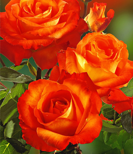Rosen-Stamm France Libre®: 1A-Rosenpflanzen bestellen ...