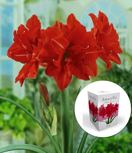 gef llte amaryllis 39 double red 39 mit bl hende zimmerpflanzen bei baldur garten. Black Bedroom Furniture Sets. Home Design Ideas