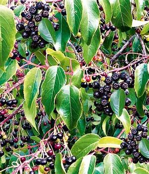 Heidelbeere 2.0 ´Maqui-Beere´,1 Pflanze