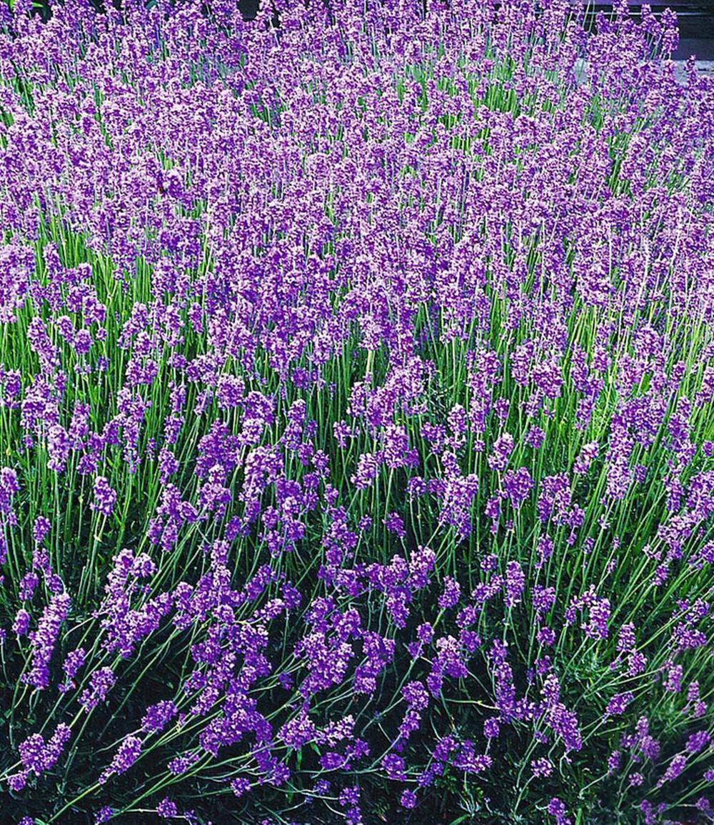 Blauer Duft-Lavendel 'Provence'