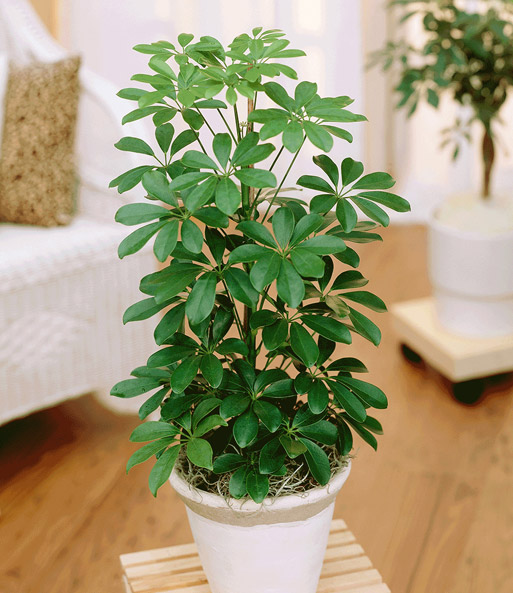 zimmerpflanzen kaufen ficus microcarpa gummibaum monstera deliciosa grosses fensterblatt. Black Bedroom Furniture Sets. Home Design Ideas