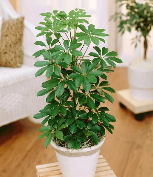Schefflera 1a zimmerpflanzen online kaufen baldur garten for Zimmerpflanzen trend