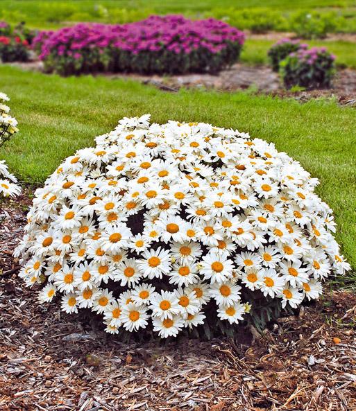 leucanthemum whoops a daisy top qualit t baldur garten. Black Bedroom Furniture Sets. Home Design Ideas