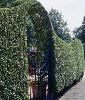 Schwarzgrüner Liguster ´Atrovirens´,1 Pflanze