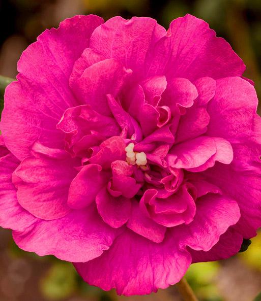 hibiskus magenta chiffon 1a pflanzen kaufen baldur garten. Black Bedroom Furniture Sets. Home Design Ideas