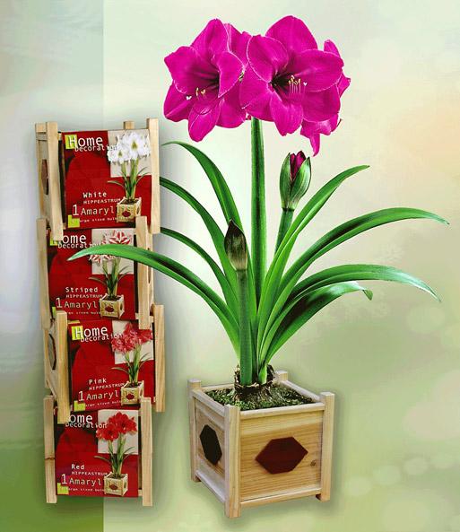amaryllis 39 pink 39 inkl holztopf und amaryllis bei baldur. Black Bedroom Furniture Sets. Home Design Ideas