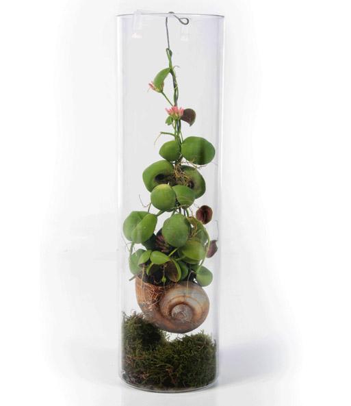 Schneckenhaus pflanze dischidia top rarit t baldur garten for Pflanzen im glas