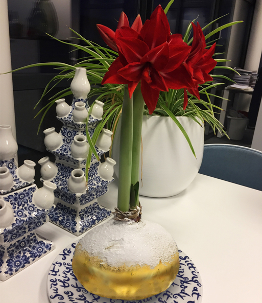 MEGA XXL Wachs-Amaryllis 'Touch of Snow' Gold