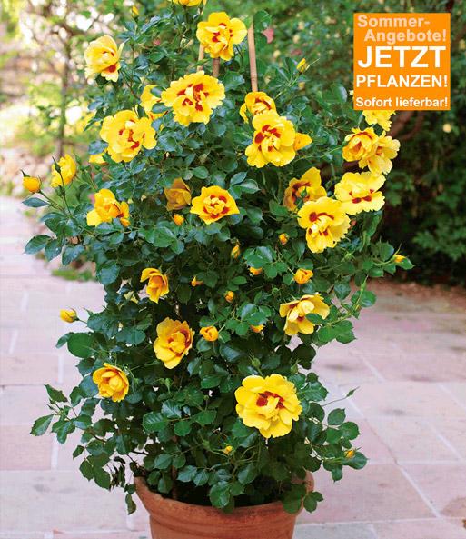 Rosen-Rarität Eyeconic®: Top-Qualität kaufen BALDUR-Garten