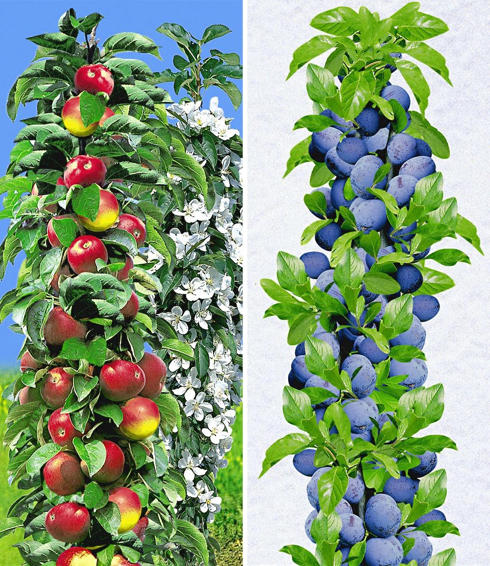 Säulen-Obst-Kollektion Apfel & Zwetschge