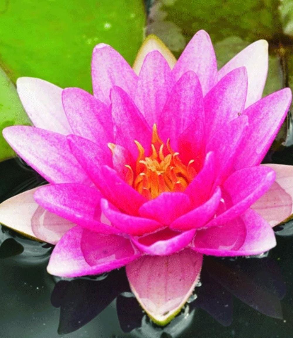 Seerose (Nymphaea) 'Pink'