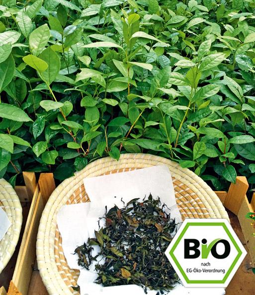 Bio Echter Tee 1a Pflanzen Online Kaufen Baldur Garten