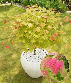 Ahorn  - Moonrise&reg, - ,1 Pflanze