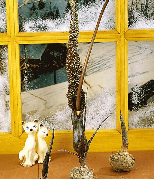 voodoo lilie blumenzwiebeln f r die wohnung bei baldur. Black Bedroom Furniture Sets. Home Design Ideas
