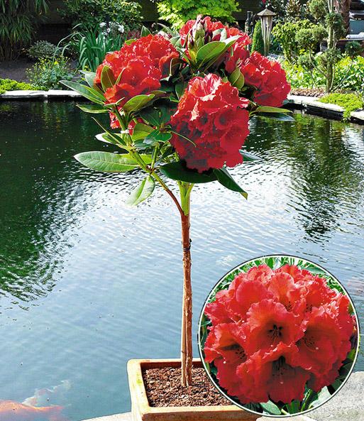rhododendron st mmchen 39 red jack 39 sonderartikel bei. Black Bedroom Furniture Sets. Home Design Ideas