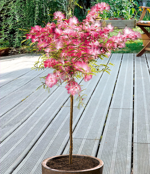 Calliandra Stammchen 1a Pflanzen Kaufen Baldur Garten