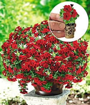 Zauberglöckchen Petunie ´Double Red Rose´,3 JUM...