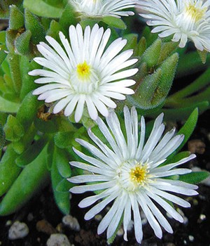 Winterharte Eisblume 'White Wonder'