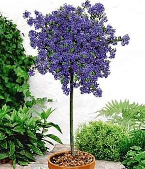 Ceanothus-Stämmchen ´Blue Mound´,1 Pflanze