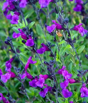 Salvia 'Ignition Purple'