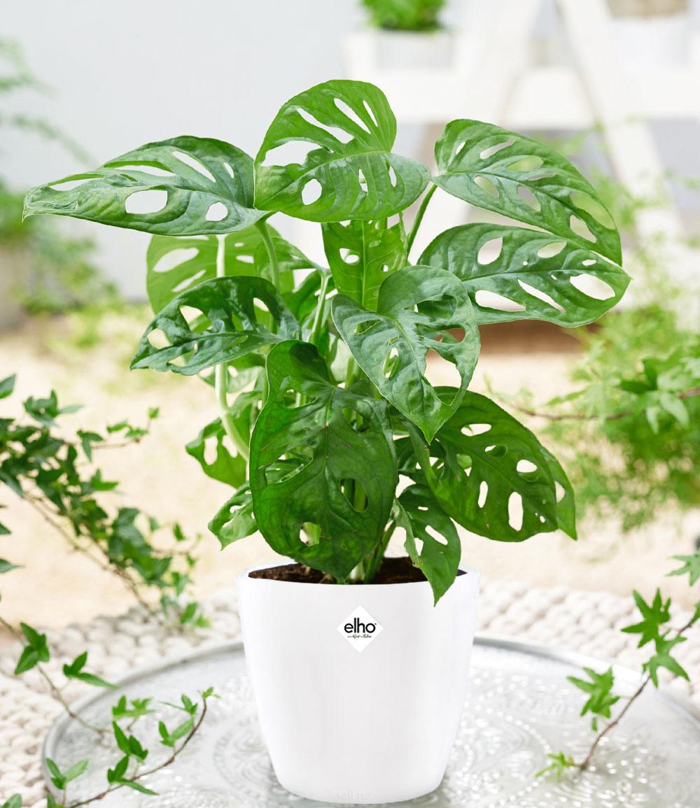 Monstera 'Monkey Leaf' inkl. Elho®-Übertopf 'Weiß'