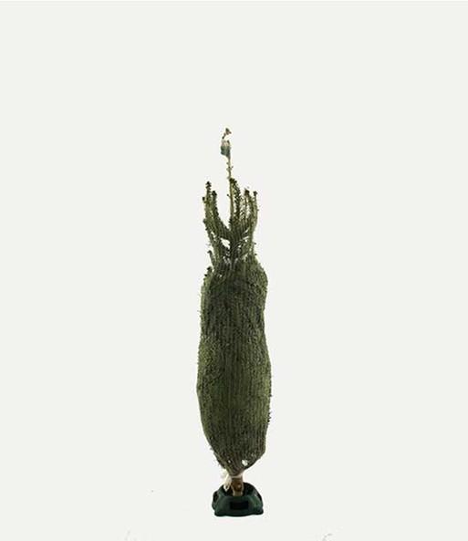 weihnachtsbaum inkl st nder 80 10 zimmerpflanzen a z. Black Bedroom Furniture Sets. Home Design Ideas