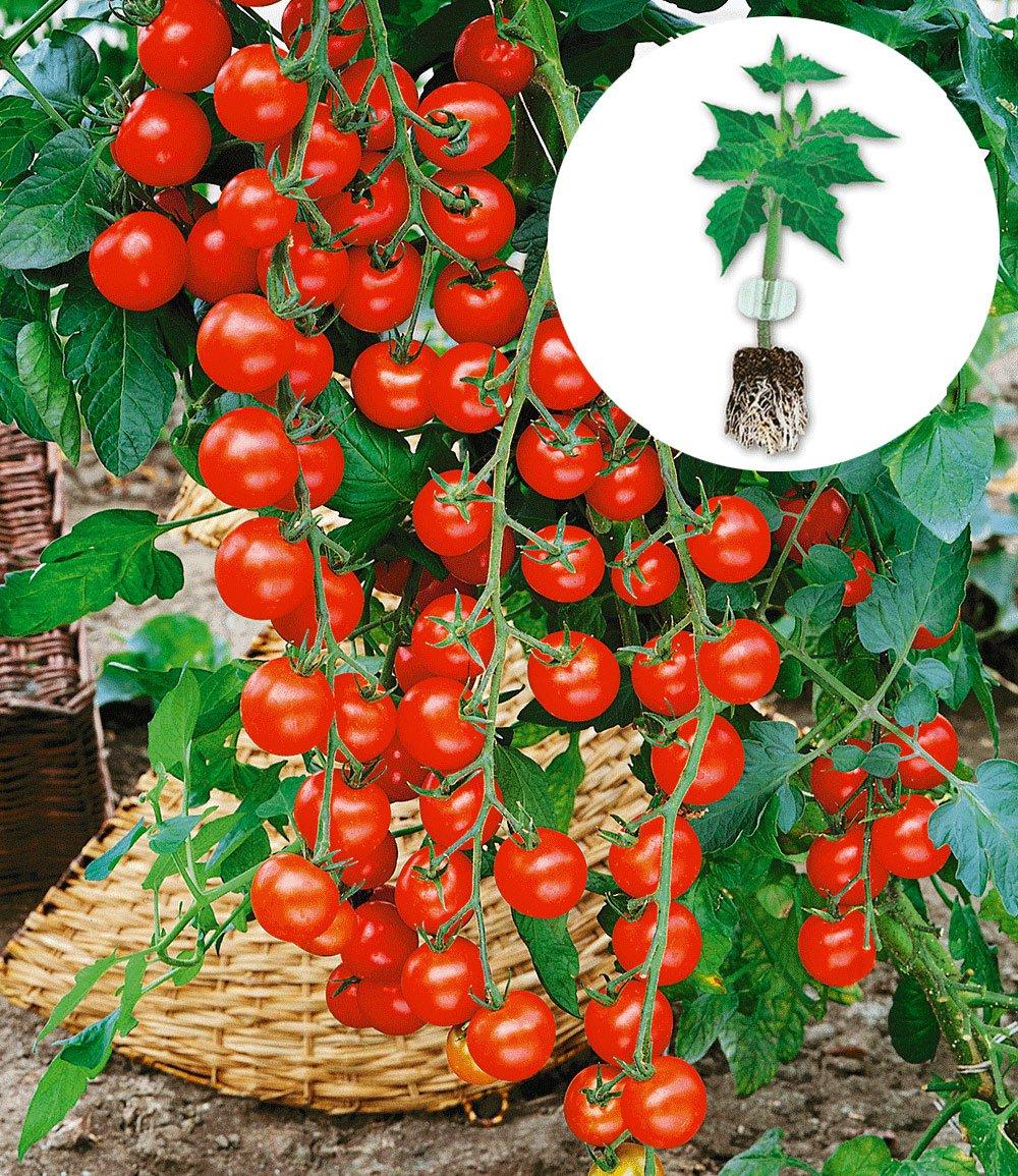 snack tomate 39 pepe 39 f1 39 1a qualit t online kaufen baldur garten. Black Bedroom Furniture Sets. Home Design Ideas