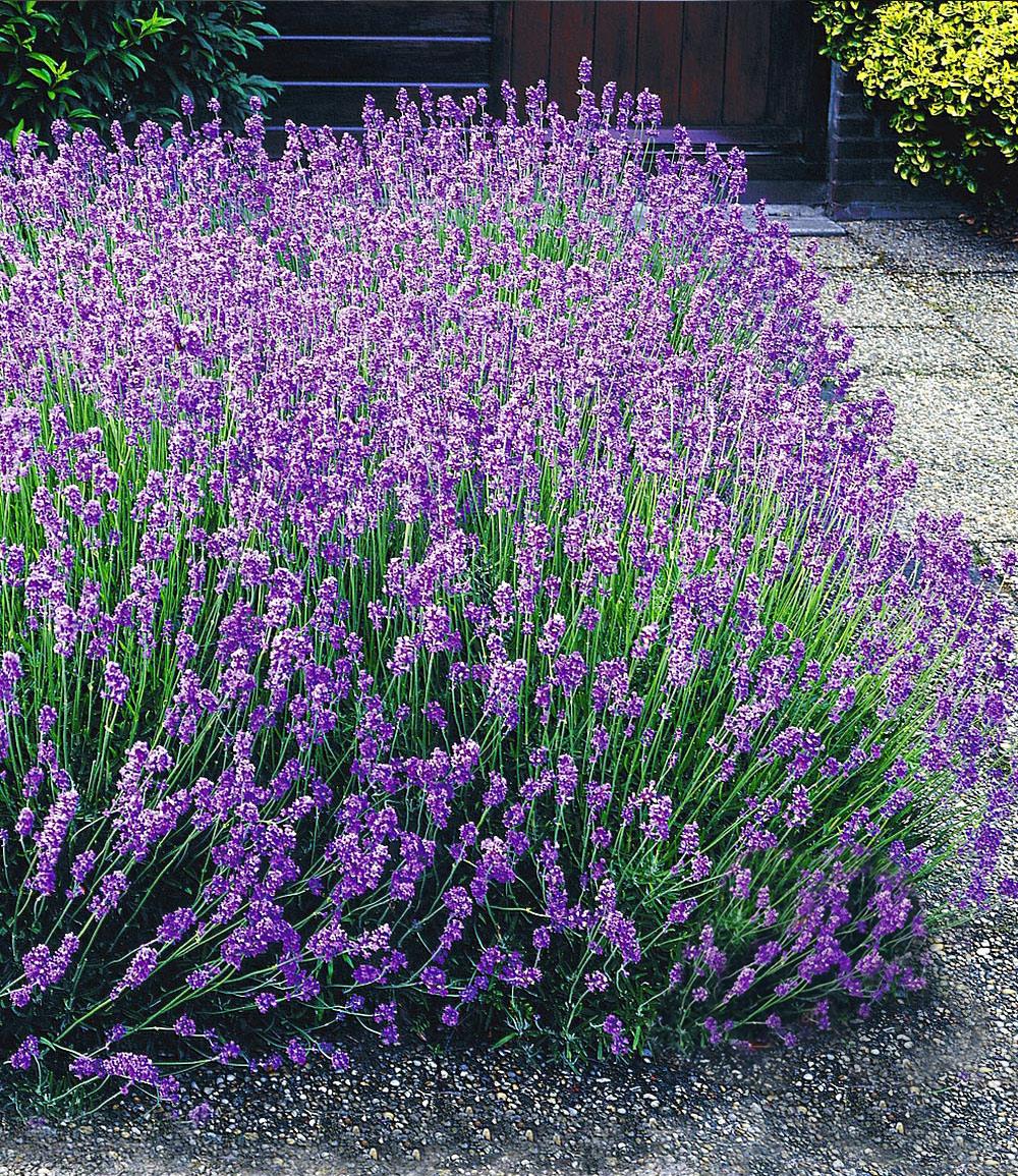 Blauer Duft-Lavendel