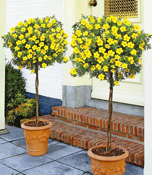 potentilla st mmchen 39 gold gelb 39 sch n pflegeleicht. Black Bedroom Furniture Sets. Home Design Ideas