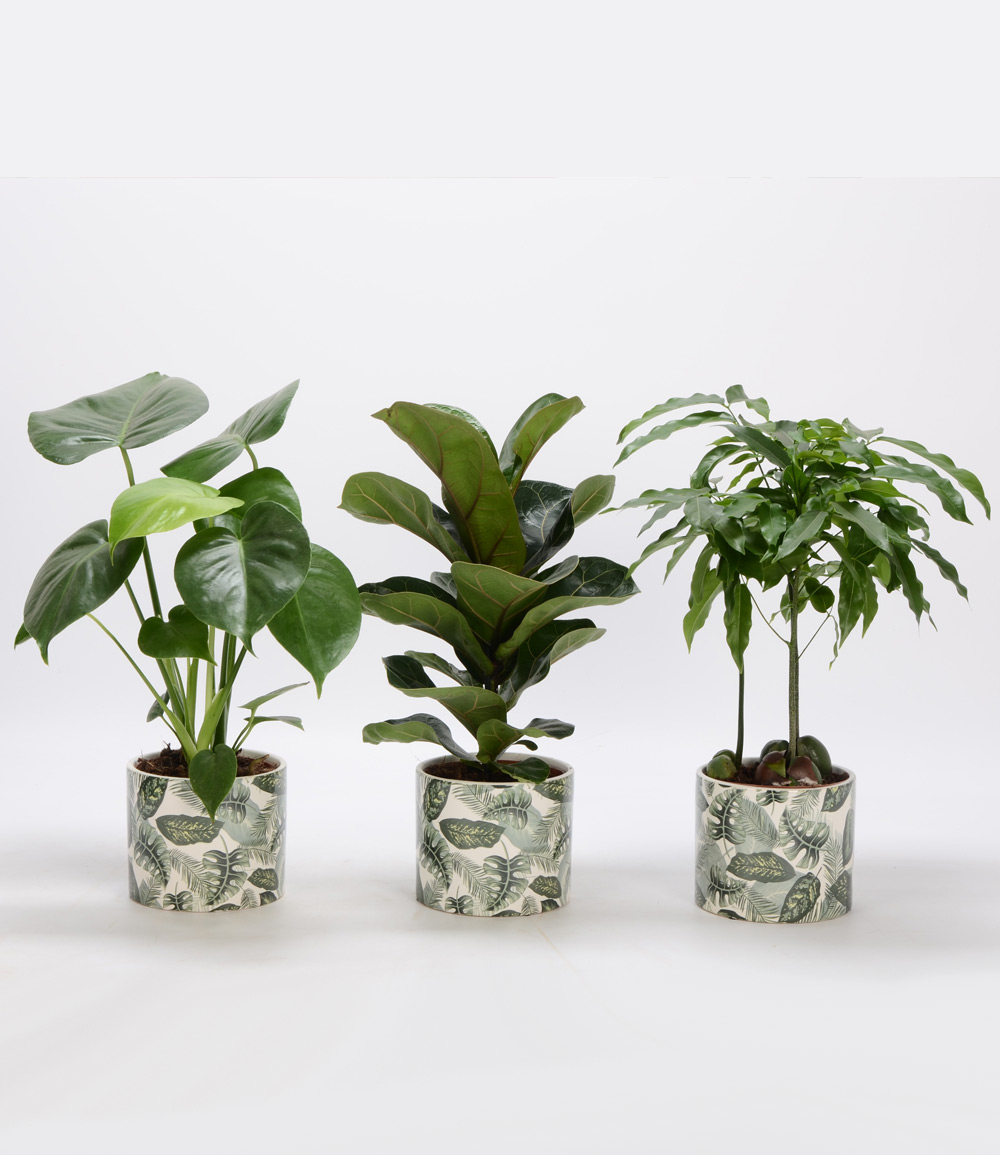 Grünpflanzen 3er-Set inkl. Amazonas Keramik-Übertopf