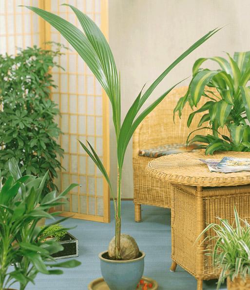 kokospalme 1a zimmerpflanzen online kaufen baldur garten. Black Bedroom Furniture Sets. Home Design Ideas