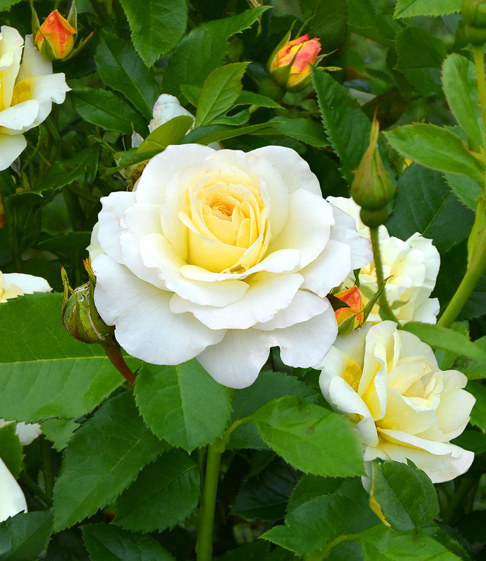 Rose der Liebe 'Centenaire de Lourdes® blanc'