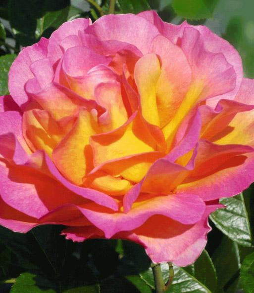 duftende rose der liebe 39 la parisienne 39 1a rosenpflanzen. Black Bedroom Furniture Sets. Home Design Ideas