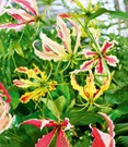 Gloriosa 'Summer Breeze'