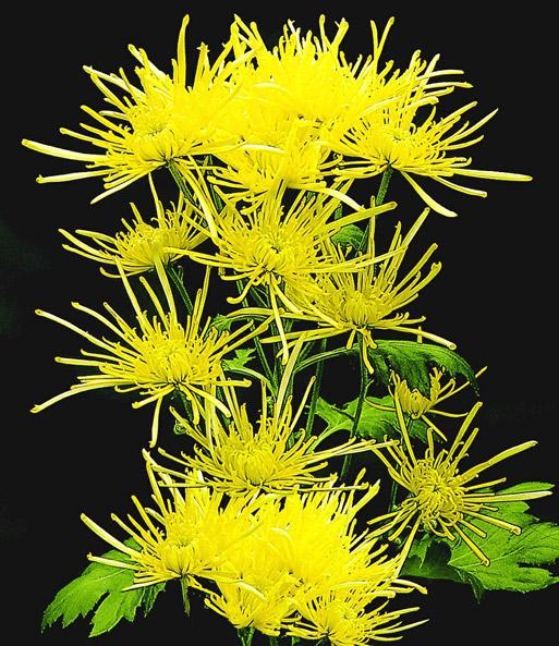 strahlen chrysantheme 39 goldgelb 39 blumenstauden bei. Black Bedroom Furniture Sets. Home Design Ideas