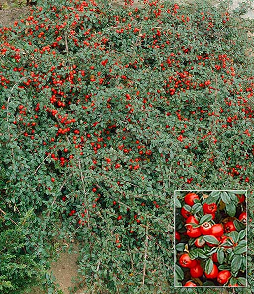 Cotoneaster Streib´s Findling