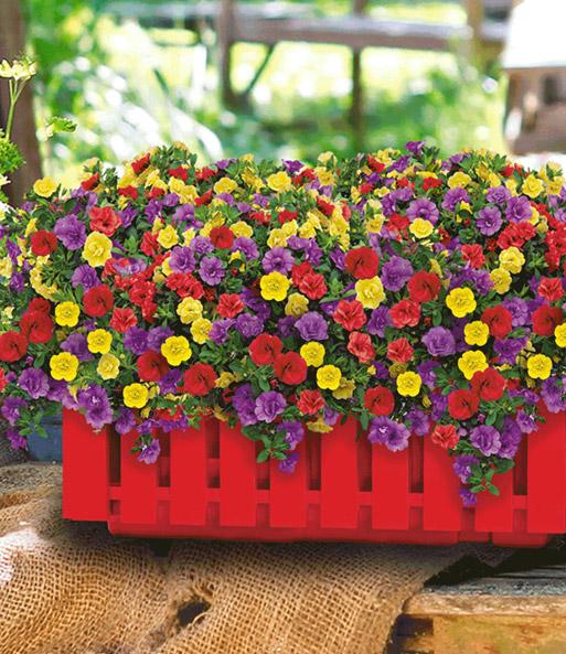 2 zaubergl ckchen petunie trixi 39 h balkonpflanzen bei. Black Bedroom Furniture Sets. Home Design Ideas